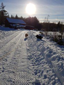 Hunder i snøen